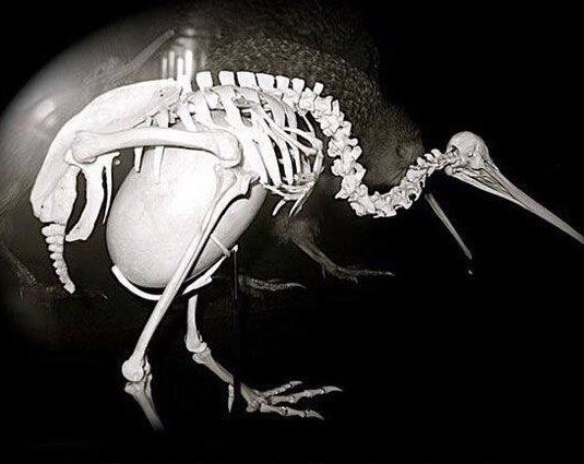 Яйцо и птица киви
