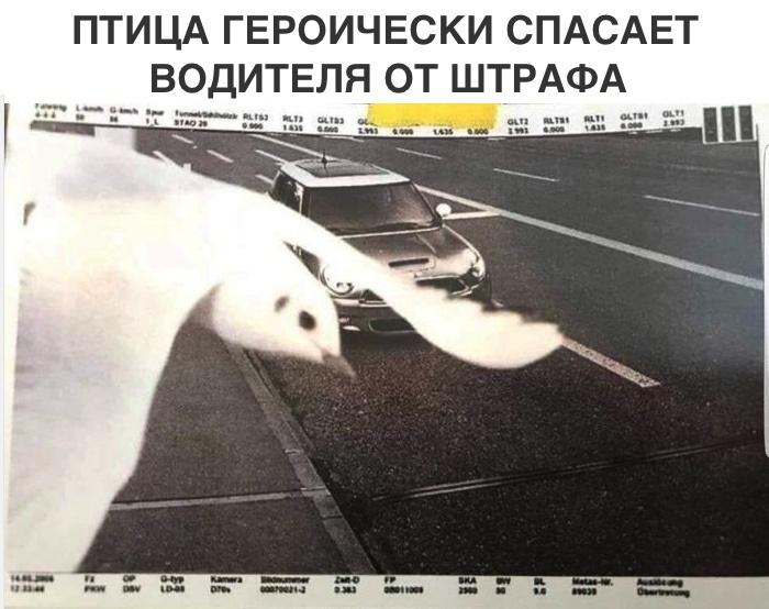 Птица спасает автолюбителя от штрафа