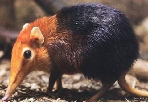Хоботковая собачка Петерса