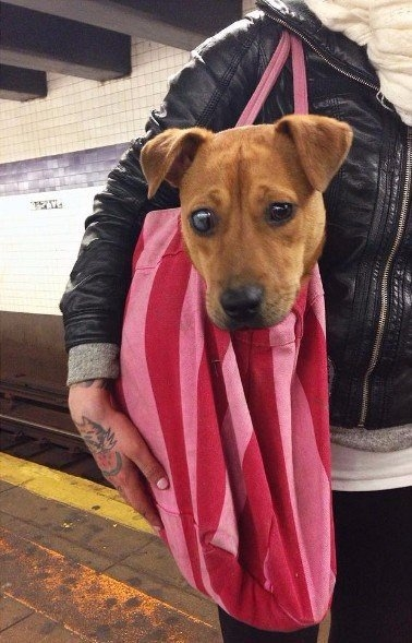 Запрет на провоз крупных собак в метро Нью-Йорка