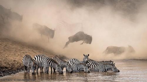 Зебры на водопое в заповеднике Масаи-Мара (Кения)